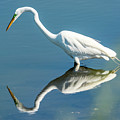 Egret Reflecting by Michelle Olivier