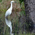 Egret Reflection by Dan Williams