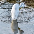 Egret Standing In A Stream Preening by Anthony Murphy