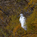Egret Surrounded By Golden Leaves by Ruth Jolly