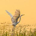 Egret Take Off 1 by Marc Crumpler