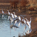 Egrets Gathering For Fishing Contest. by Tom Janca