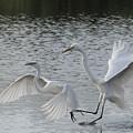 Egrets In Flight  by Bill Kraft
