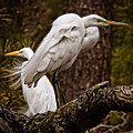 Egrets On A Branch by Tom Gari Gallery-Three-Photography