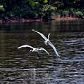 Egrets V by Gary Adkins