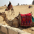 Egypt - Camel Getting Ready For The Ride by Munir Alawi