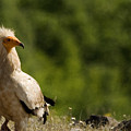 Egyptain Vulture  by Cliff Norton