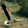 Egyptain Vulture In Flight  by Cliff Norton