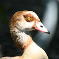 Egyptian Goose 2 by Delphine Ross