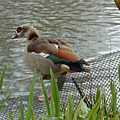 Egyptian Goose Climbing Fence by Adrian Wale