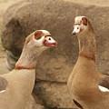 Egyptian Goose by Diane Schuler