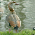 Egyptian Goose by Eric Wallis