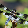Eight-spotted Skimmer  by Sharon Talson