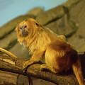 El Paso Zoo - Golden Lion Tamarin by Allen Sheffield