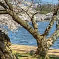 Elder Cherry Tree by Karen Jorstad