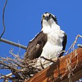 Electric Blue Osprey by Christi Chapman