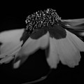 Elegance In Black And White by Mechala Matthews