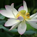 Elegant Lotus by Sabrina L Ryan