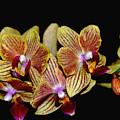 Elegant Orchid On Black by Debbie Oppermann