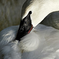 Elegant Trumpeter Swan by Sue Harper