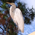 Elegant White Crane by Kim Chernecky