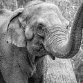 Elephant And Tree Trunk Black And White by Steven Jones