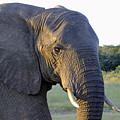 Elephant Close Up by Tony Murtagh