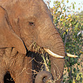 Elephant - Curled Trunk by Gill Billington