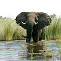 Elephant by Dorothy Binder