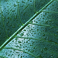 Elephant Ear Leaf by Dana Edmunds - Printscapes