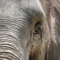 Elephant Eye by Jeannie Burleson