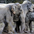 Elephant Family by Laurel Talabere