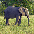 Elephant Feeding by Tony Murtagh
