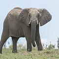 Elephant Forward On Mound by Bryan Pereira