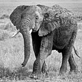 Elephant Happy And Free In Black And White by Gill Billington