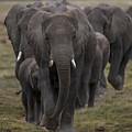 Elephant Herd by Bryan Pereira