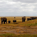 Elephant Herd by Pamela Peters