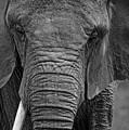 Elephant In Black And White by Matt Plyler