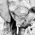 Elephant Portrait In Black And White by Jane Rix