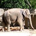 Elephant by Rose Santuci-Sofranko