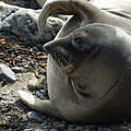 Elephant Seal by Ernie Echols