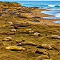 Elephant Seals Near Cambria  by Garry Gay