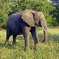 Elephant by Tony Murtagh