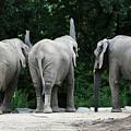 Elephant Trio by Karol Livote