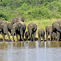 Elephants At The Waterhole   by Tony Murtagh