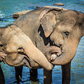 Elephants Bathing In A River by MotHaiBaPhoto Prints