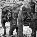 Elephants Bw by Ingrid Dendievel
