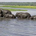 Elephants Crossing Chobe River by Tony Murtagh