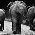 Elephants In Black And White by Johan Elzenga