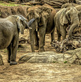 Elephants Social by David Pine